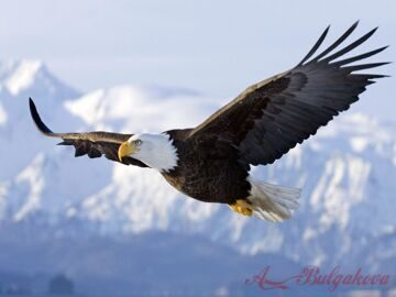 bald-eagle-in-flying-2800x2100
